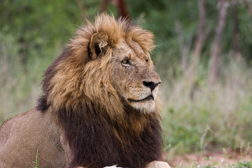 Male lion on the lookout