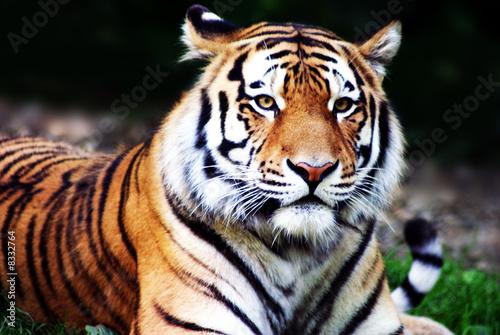 Bild Auf Leinwand Tier Tiger Säugetiere Wildnis Pixteria