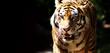 Wilder Tiger