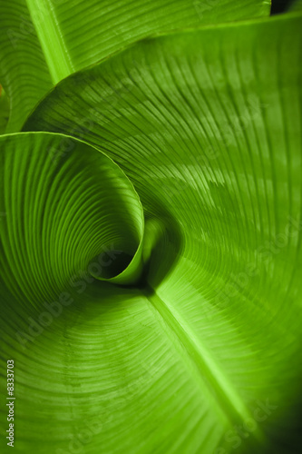 Deurstickers Palm boom Banana Leaf Curl