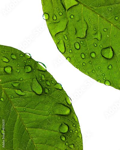 Fresh Wet Leaves