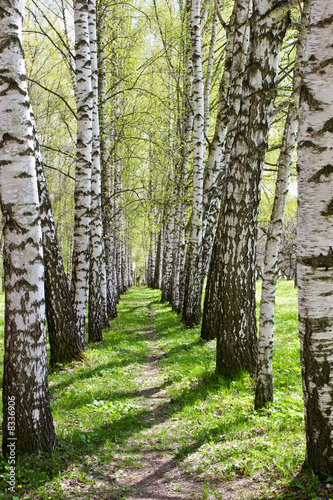Birch-tree alley - 8336906