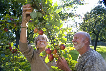 Mature couple picking apples in orchard, smiling