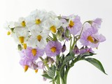 white and lila potatoes flowers poster