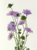scabious lila flowers posy poster