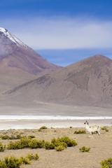 Alpaca am Salar de Suire,Reserva Nacional Las Vicuñas,Chile