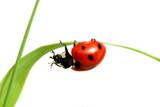 Fototapety red ladybug