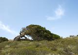 juniper tree at El Hierro, bent down by enduring wind poster