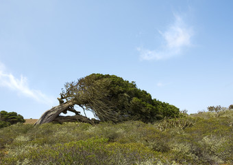 juniper tree at El Hierro, bent down by enduring wind