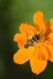 Ozark Tickseed with Bee 2 - 8365500