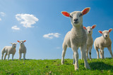 Fototapety curious lambs in spring