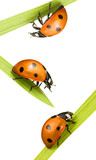 ladybugs on blades of grass
