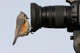 Tufted Titmouse (baeolophus bicolor) on a camera lens poster