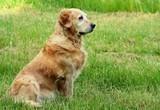 Portrait of dog - golden retriever poster
