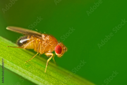 Leinwanddruck Bild Male fruit fly (Drosophila Melanogaster) on a blade of grass
