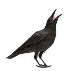 Young Carrion Crow - Corvus corone (3 months) - Fine Art prints