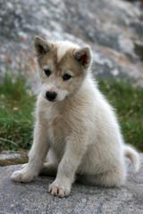 Sled dog puppy sitting in Ilulissat, Greenland