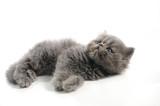 Little persian cat poster