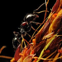 Ant ascension