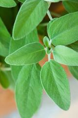 Salvia (sage)