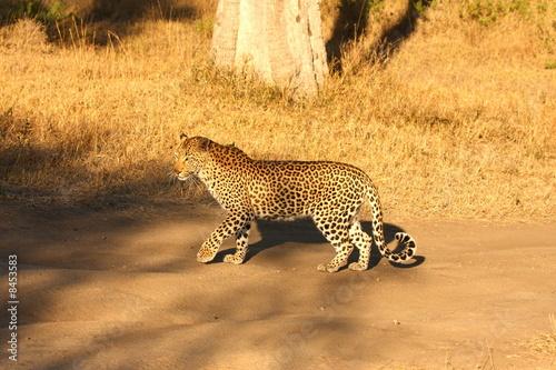 Fotobehang Leopard in the Sabi Sands