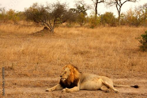 Staande foto Afrika Lion in Sabi Sands