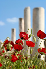 Poppies in the street an ancient Efes