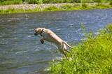 Labrador Retriever Hunting in a River poster