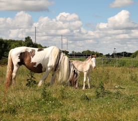 A Foal with its Mother in an english meadow