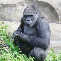 Gorilla. The great monkey.