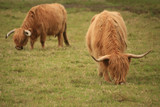 Scottish Highland cows grazing poster