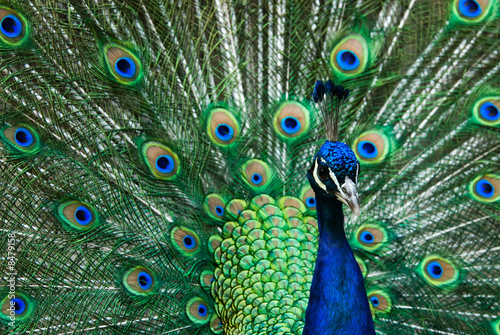beautiful male indian peacock