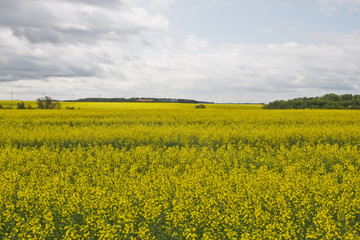 A field of Canola in Canada