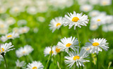Spring flowers marguerites in a grean meadow - 8487155