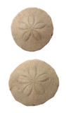 Common Sand Dollars poster