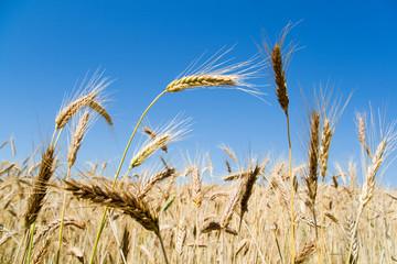 Wheat ears against blue sky