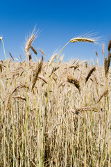 Wheat ears against blue sky (vertical)