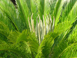 big green fern