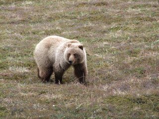 Jeune Grizzli, Parc National de Denali (AK)