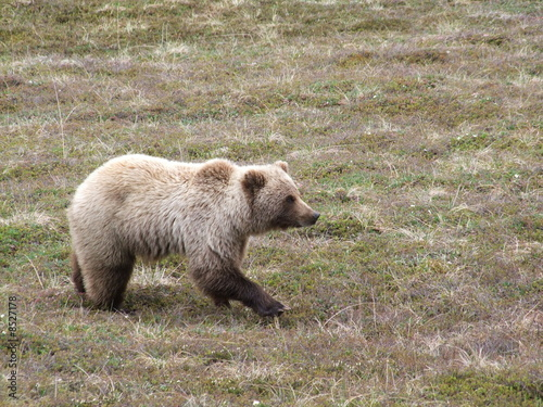 Jeune Grizzli, Parc National de Denali (AK)