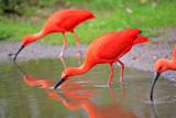 Scarlet ibis (Eudocimus ruber) birds in the wild poster