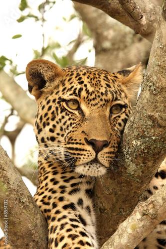 Fotobehang Luipaard Leopard in a tree