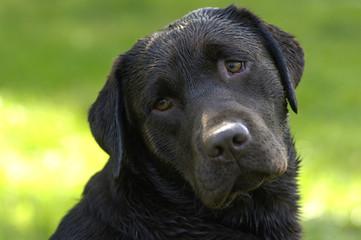 hien de race Labrador
