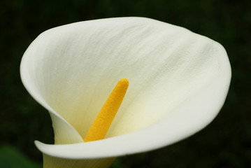 Flower White Calla Lily Closeup
