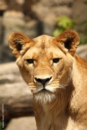 Fotobehang Lioness in Sabi Sands