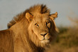 Big male lion, Kalahari desert, South Africa