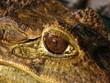 Eye of a Crocodile at Manila Zoo