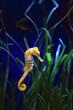 Leinwandbild Motiv underwater image of a sea dragon