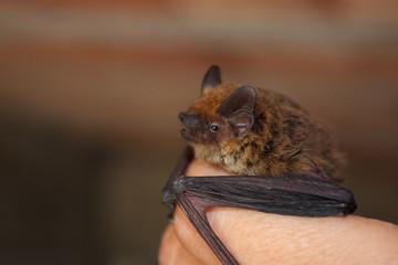 Piccolo pipistrello