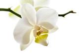 Fototapeta orchidee - paź - Kwiat